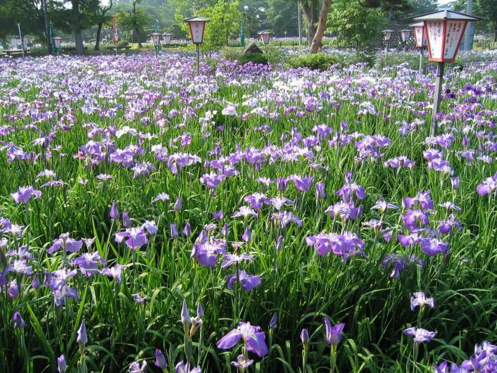 開園前の朝の「長井あやめ公園」見学と朝摘みさくらんぼ狩り