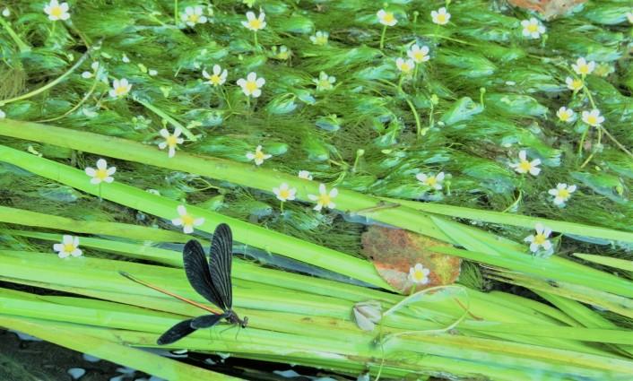 まちなか水路巡り 〜幸せの花「梅花藻」探しの旅〜